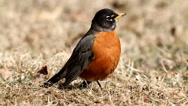 Stock Video Footage of American Robin (Turdus migratorius)