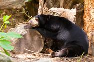 Stock Photo of black bear sleep on timber