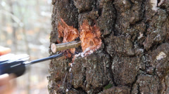 A man prepares a hole in a tree to collect birch sap Stock Footage