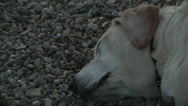 Stock Video Footage of White Dog Sleeping-Looks Dead
