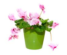 Pink Flower Isolated on White in a Pot Stock Photos