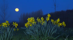 Daffodills and moon with different lighting set ups Stock Footage