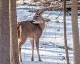 Stock Photo of whitetail deer buck