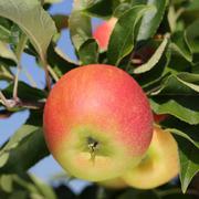 apple on an apple tree in summer - stock photo