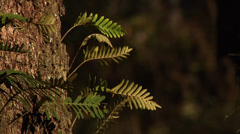 Ferns, trees, Golden light, ferns on Live Oak, trunk, breeze, blurred background Stock Footage