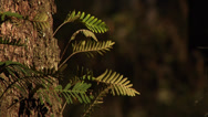 Stock Video Footage of CU FRAME LEFT Golden light, ferns on Live Oak, trunk, breeze, blurred background