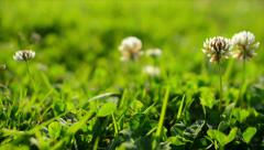 Clover Flowers 07 Dolly Green Grass Stock Footage