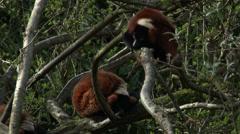 Lemur, Red Ruffed Lemur, Primate, Madagascar, 4K, UHD Stock Footage
