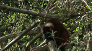 Stock Video Footage of Lemur, Red Ruffed Lemur, Primate, Madagascar, 4K, UHD