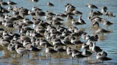 Darling National Wildlife Refuge Florida Willet HD 2135 Stock Footage