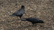 Stock Video Footage of Crow, Raven, Bird, Black, Peck, Eat, 4K, UHD