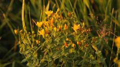 St. John's wort herb Stock Footage