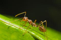Red ant walking Stock Photos