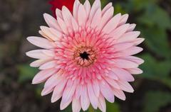 pink gerbera close up - stock photo