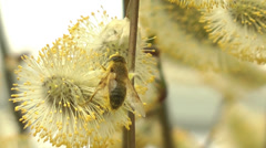Drone fly feeding on pollen from willow catkin 3 Stock Footage