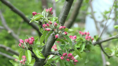 Pink blossom on apple tree in the spring - stock footage