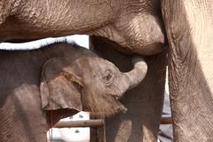 young elephant suck up milk - stock photo