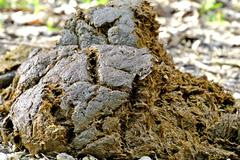 horse dung - stock photo