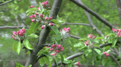 Apple tree pink blossom in the spring Stock Footage