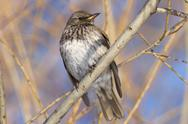 Stock Photo of fieldfare turdus pilaris wintering in russia in the south of western siberia