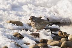 Fieldfare turdus pilaris wintering in russia in the south of western siberia Stock Photos