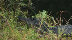 Everglades National Park American Alligator by swamp HD 2203 Stock Footage