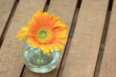 beautiful gerbera or barberton daisy - stock photo