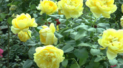 Full bloomed yellow color UK roses. (ROSE--122) Stock Footage