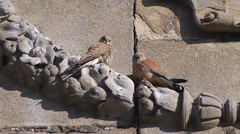 LESSER KESTREL ON PLASENCIA CATHEDRAL #3 - stock footage