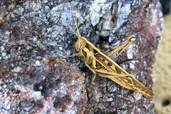 Grasshopper perching on the stone Stock Photos