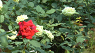Stock Video Footage of Full bloomed yellow and red color UK roses. (ROSE--97)