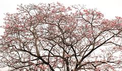 Pink trumpet tree isolated on white background Stock Photos