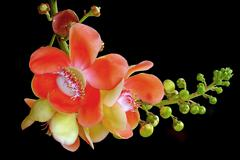 cannonball tree isolated on black background - stock photo