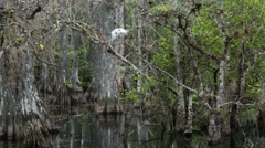Everglades National Park birds cypress swamp rain HD 2180 Stock Footage
