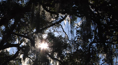 Trees, Oaks, Time Lapse, Sun sparkles through Live Oak canopy, moss, flares Stock Footage