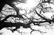 Stock Photo of sun through the branches; tree, afternoon, daylight, black and white