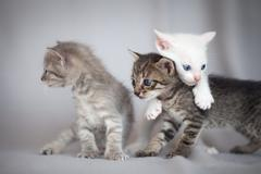 Kittens playing Stock Photos