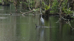 Everglades National Park cypress swamp Great Blue Heron HD 2188 Stock Footage