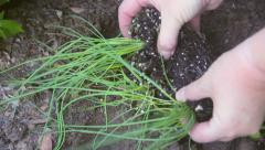 Separating And Planting Chives Seedlings Stock Footage