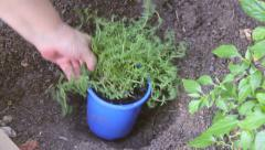Planting Thyme Seedlings In Hole Stock Footage