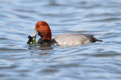 redhead drake (aythya americana) - stock photo