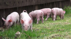 Baby Pigs, Piglets, Hogs, Farm Animals - stock footage