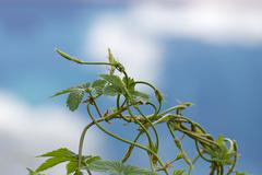 Entwined Plant Tendrils - stock photo