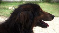 Stock Video Footage of Dog Panting, Canines, Pets, Animals