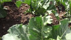Vegetable Garden, Food Crops Stock Footage