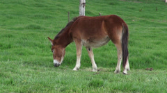 Donkey Grazing, Mules, Farm Animals - stock footage