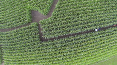 maze in a korn field areal drone shots - stock footage