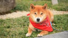 Young japanese shiba inu (hachi) with red scarf Stock Photos
