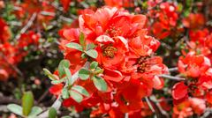 Spring blossoming japanese quince bush Stock Photos