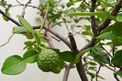 leech lime or bergamot fruits on tree - stock photo